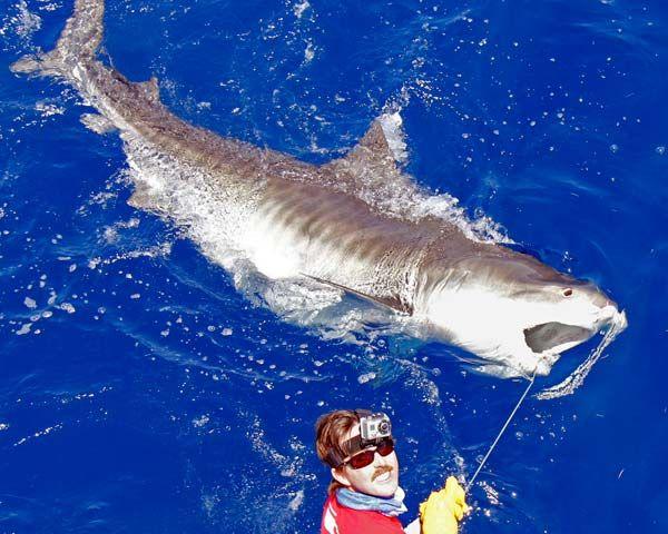 Huge Tiger Sharks Hooked Off Florida Keys Shark Fishing Shark Fish