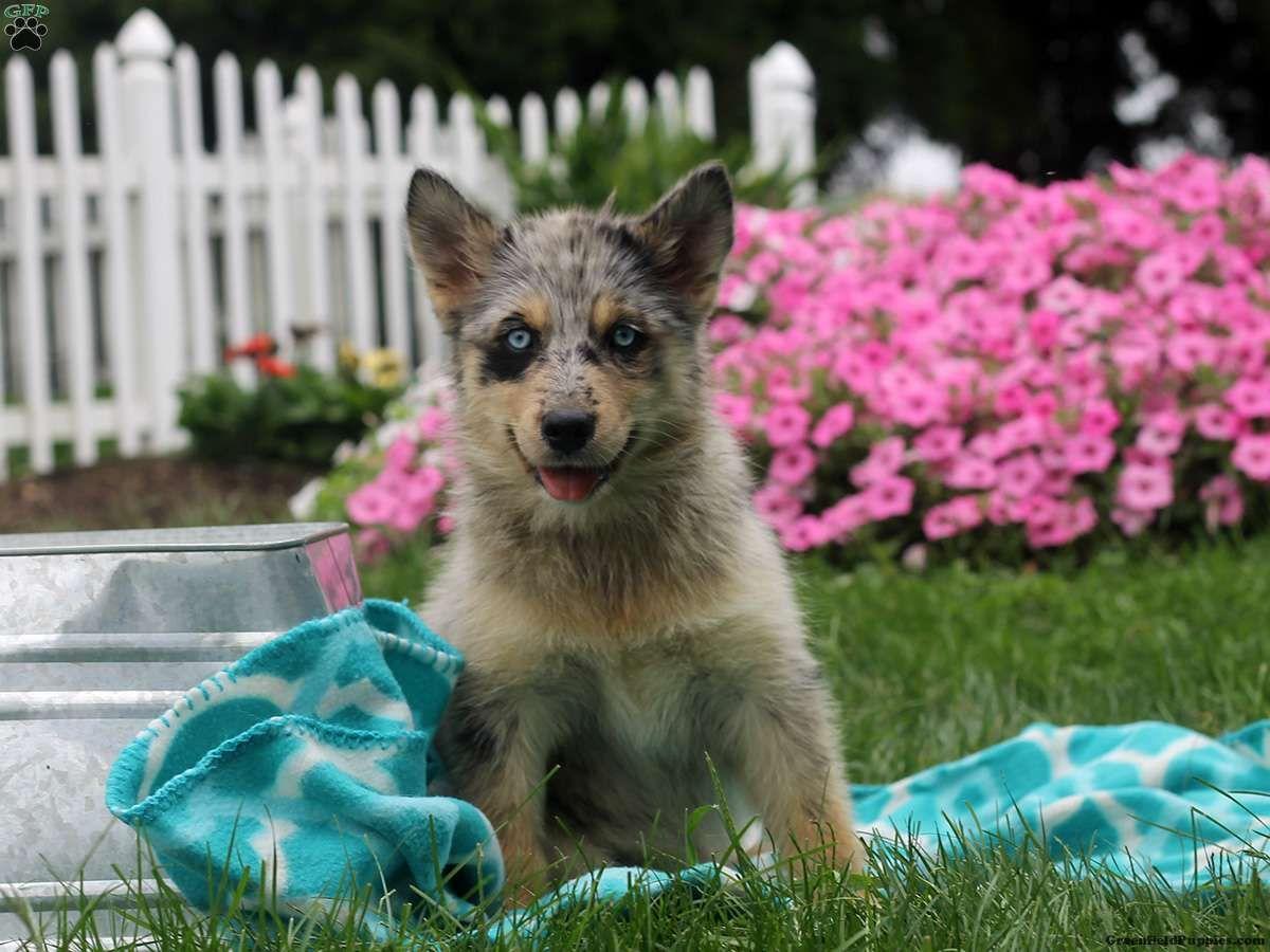 Isabella pomsky puppy for sale in pennsylvania pomsky