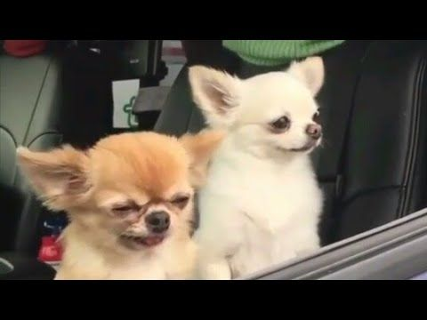 9gag Morning People Vs You Youtube Chihuahua Puppies