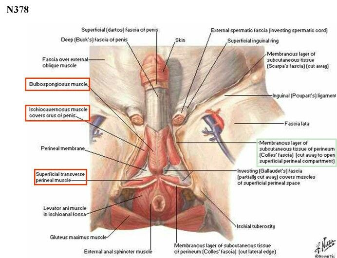Male Genitalia & Perineum | Human Viscera Anatomy | Pinterest