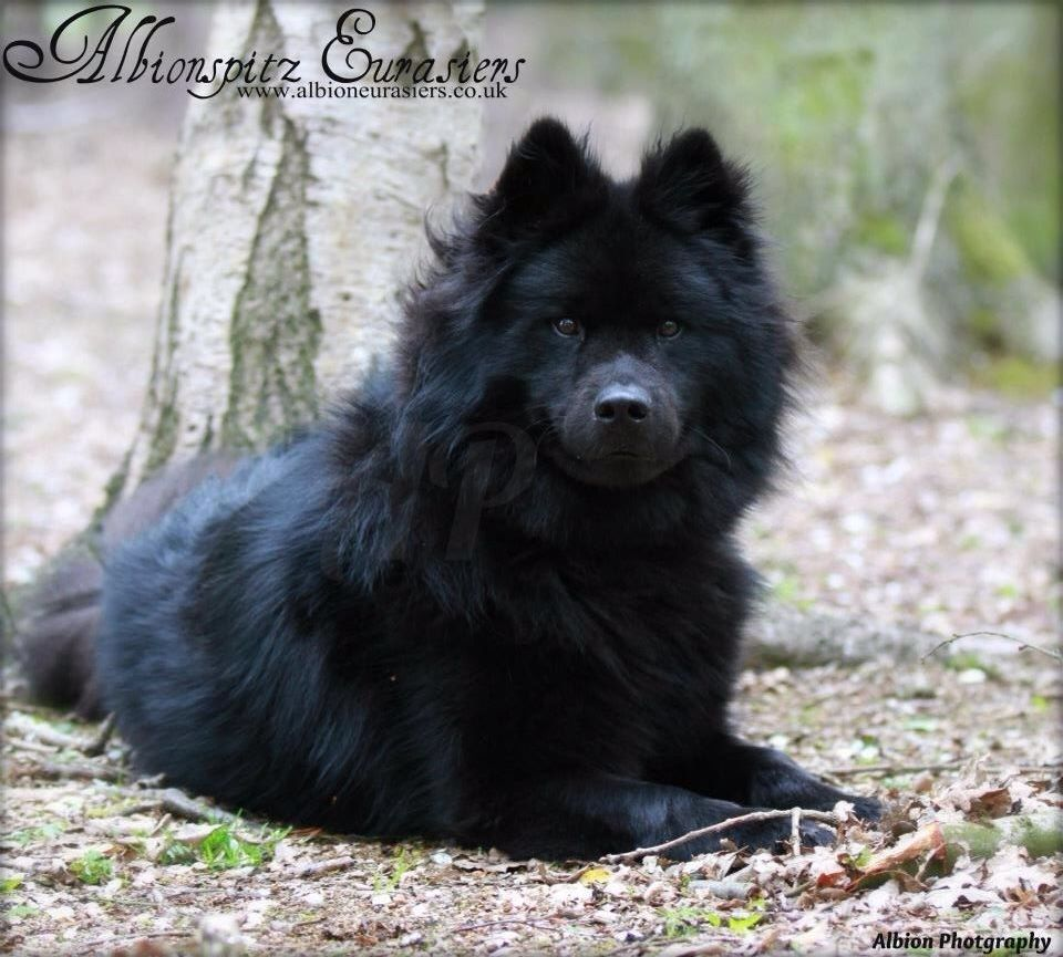 Eurasier Dog Expressions Colorful Dog Cute Dogs