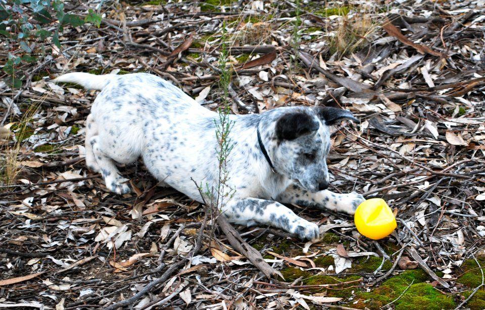 Australian Koolie Dog Photo Koolie Puppy Bendigo Vic