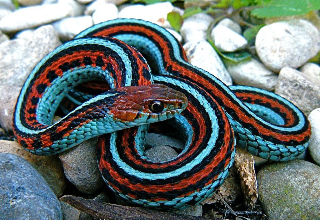 Electric Blue San Francisco Garter Snake With Images Garden