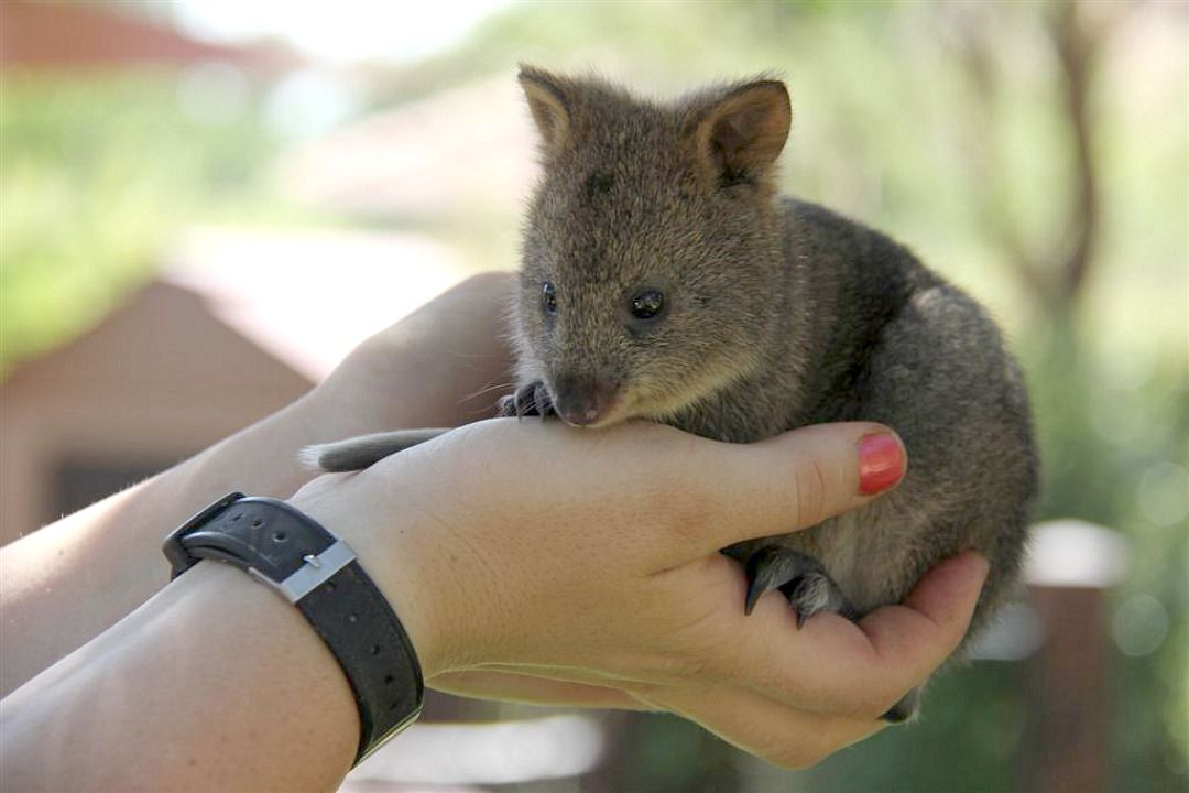 Jarrah, a six-month-old Quokka joey, is being hand-raised at Taronga Zoo by Keeper Kristal, who was delighted to become a surrogate mum after the youngster left its pouch too early. At this age, the joey is tiny and needs full time care. Learn more on ZooBorns.com.