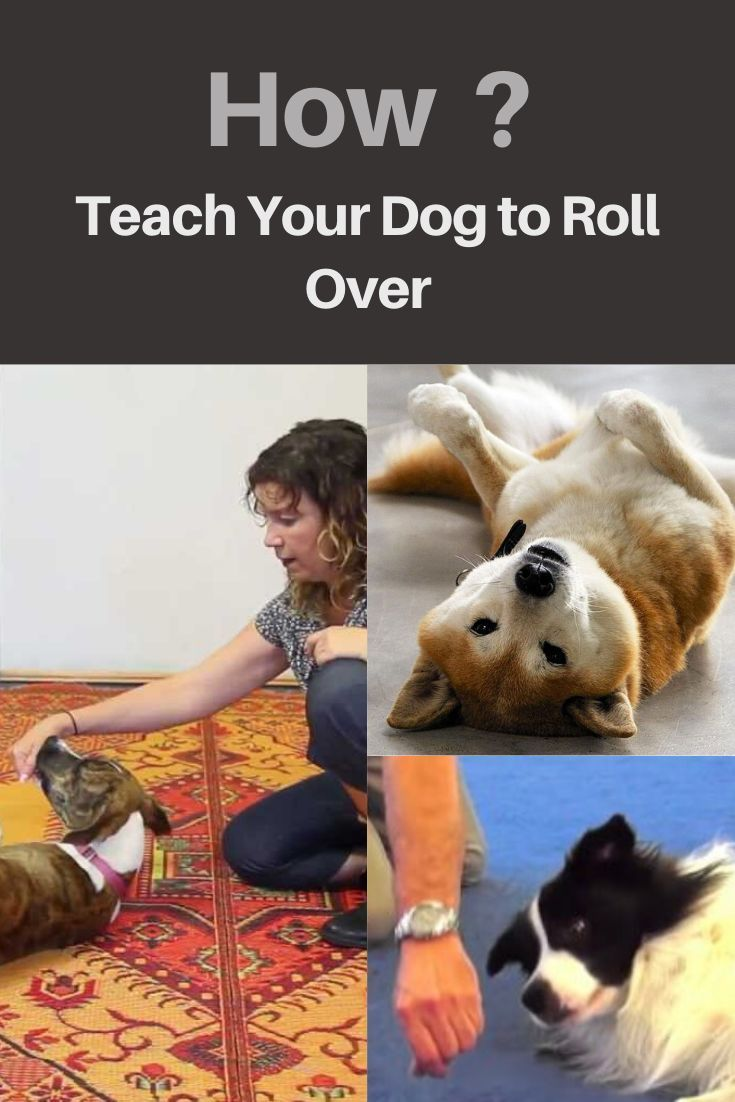 How to teach your dog to roll over how to teach your dog