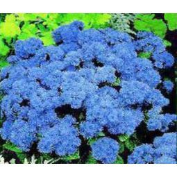 Ageratum Blue Mink Seeds Ageratum Houstonianum Flower Seeds Plants Dwarf Plants