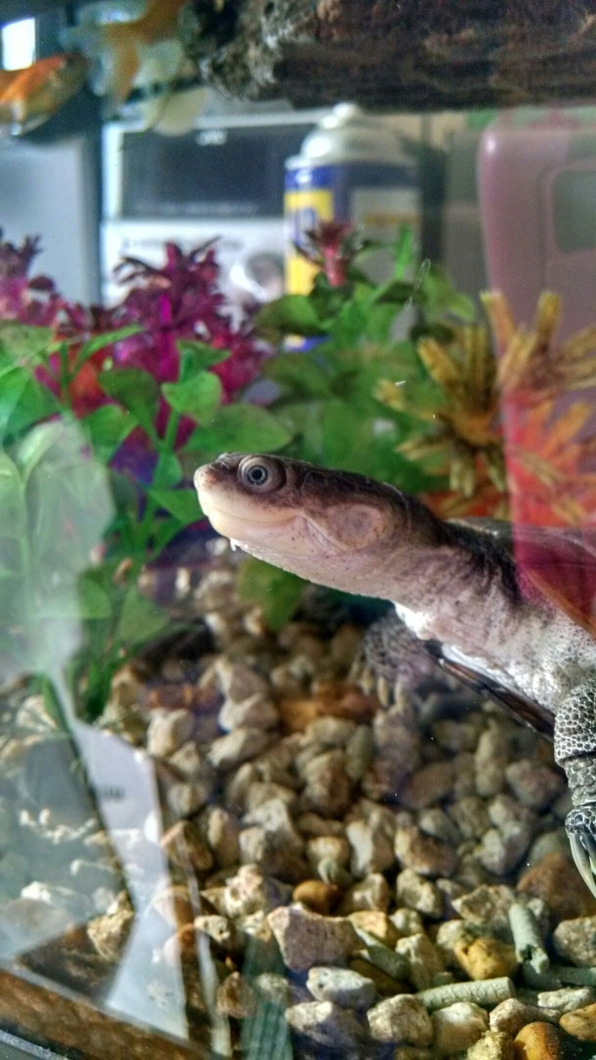 Atlas, my African Sideneck turtle.   Turtle, Pets, African