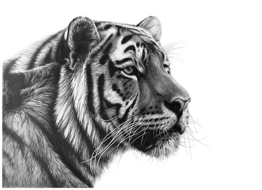 Browse Through A Collection Of Wildlife Paintings And Drawings By - Stunning drawings of endangered wild animals by richard symonds