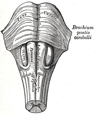 Puente de Varolio (Protuberancia Anular): Anatomía y Funciones ...