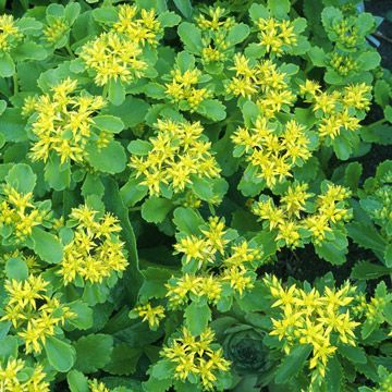 Kamschatka Sedum Kamtschati Is A Groundcover That Produces Tiny Yellow Flowers