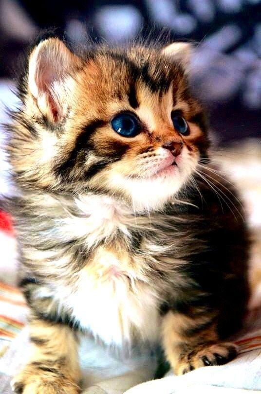 roztomilý Lil mačička čierny na eben