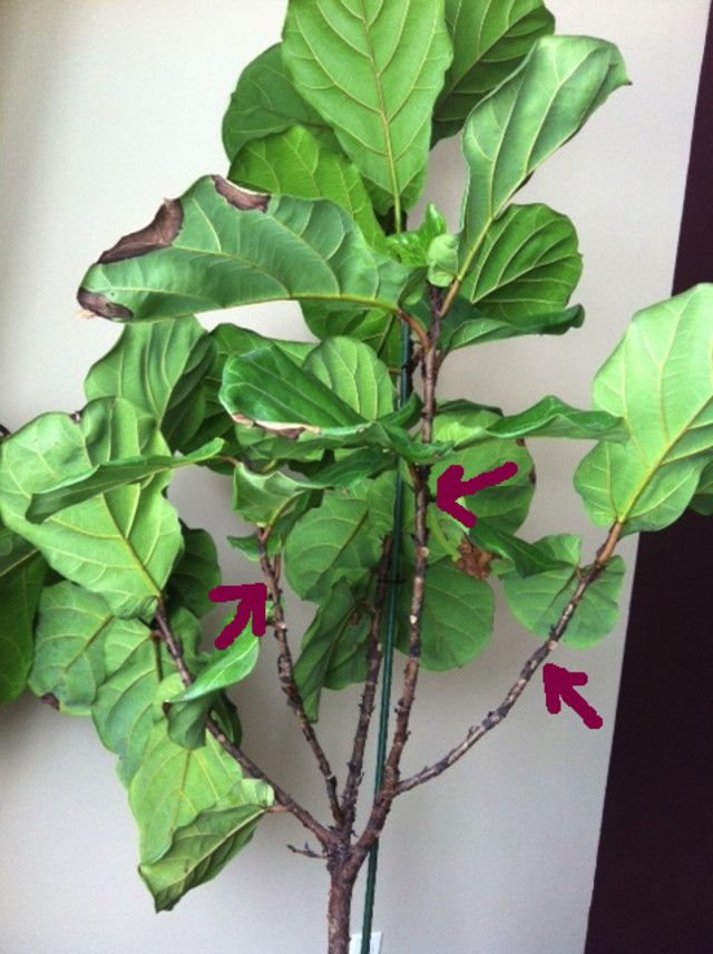 Fiddle Leaf Fig Pruning Pruning Ficus Lyrata Fiddle Leaf Fig