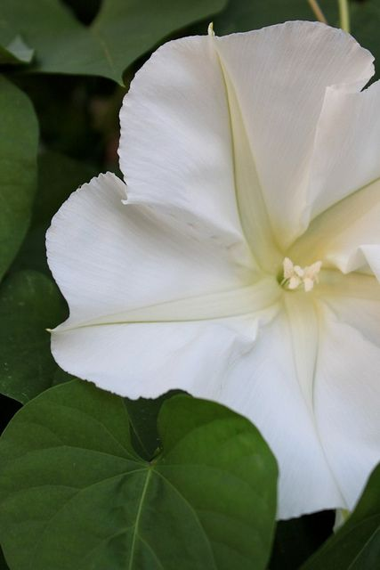Moon Flower Blooms Only At Night Watch As The Glowing Beautiful White Petals Open And Spread Their Delicious Delicate Perfume In Air
