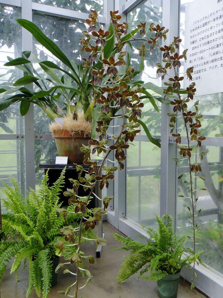 Grammatophyllum Martae Marta S Gramamatophyllum World Of Flowering Plants Growing Orchids Orchid House Vanda Orchids