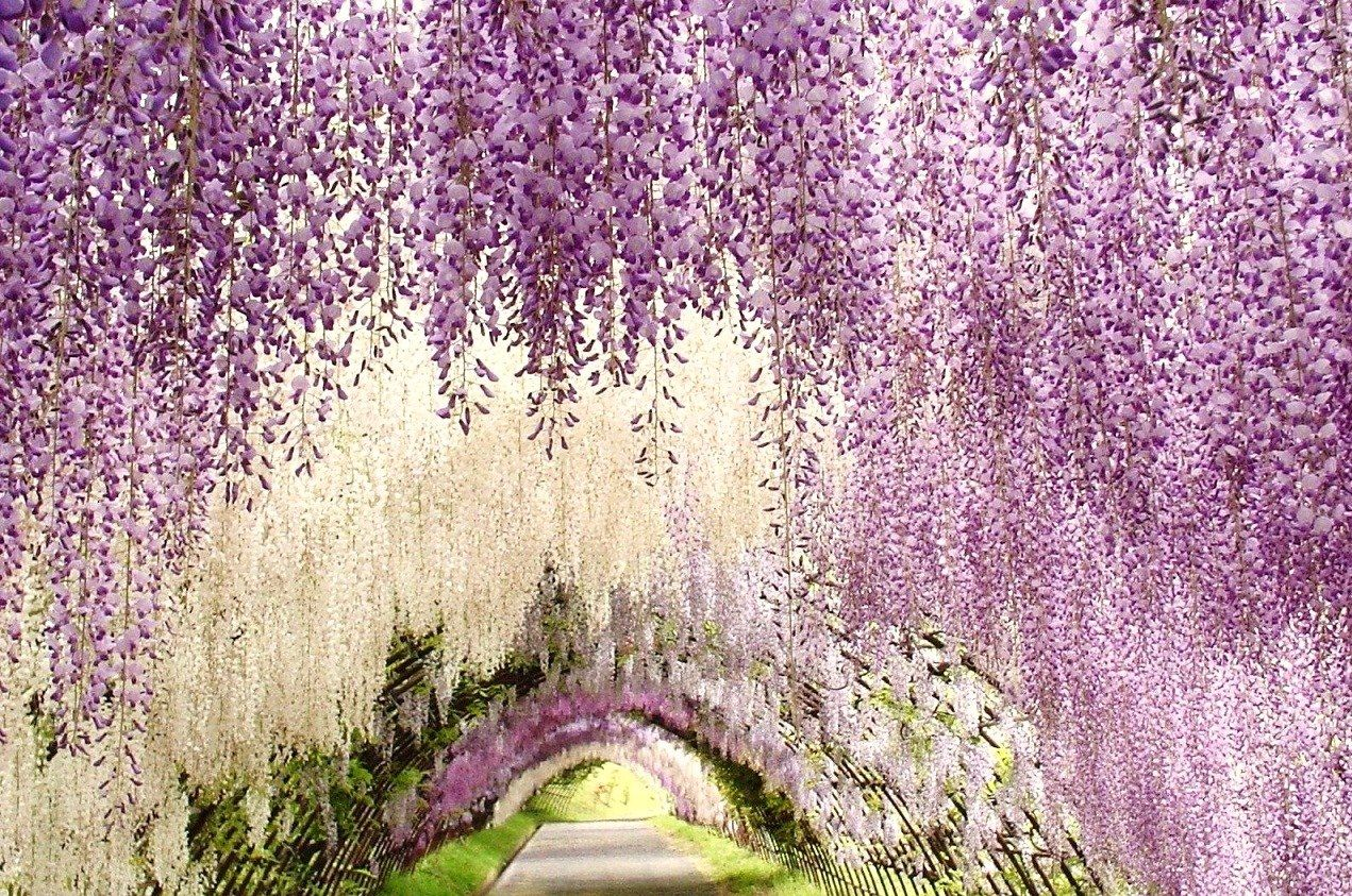 The 15 Most Breathtaking Places In The World Most Beautiful Gardens Wisteria Garden Wisteria Tunnel Japan