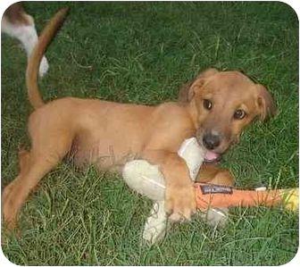 Labrador Retriever Bloodhound Mix Puppy For Adoption In Callahan Florida Dallas Puppy Adoption Cattle Dog Puppies