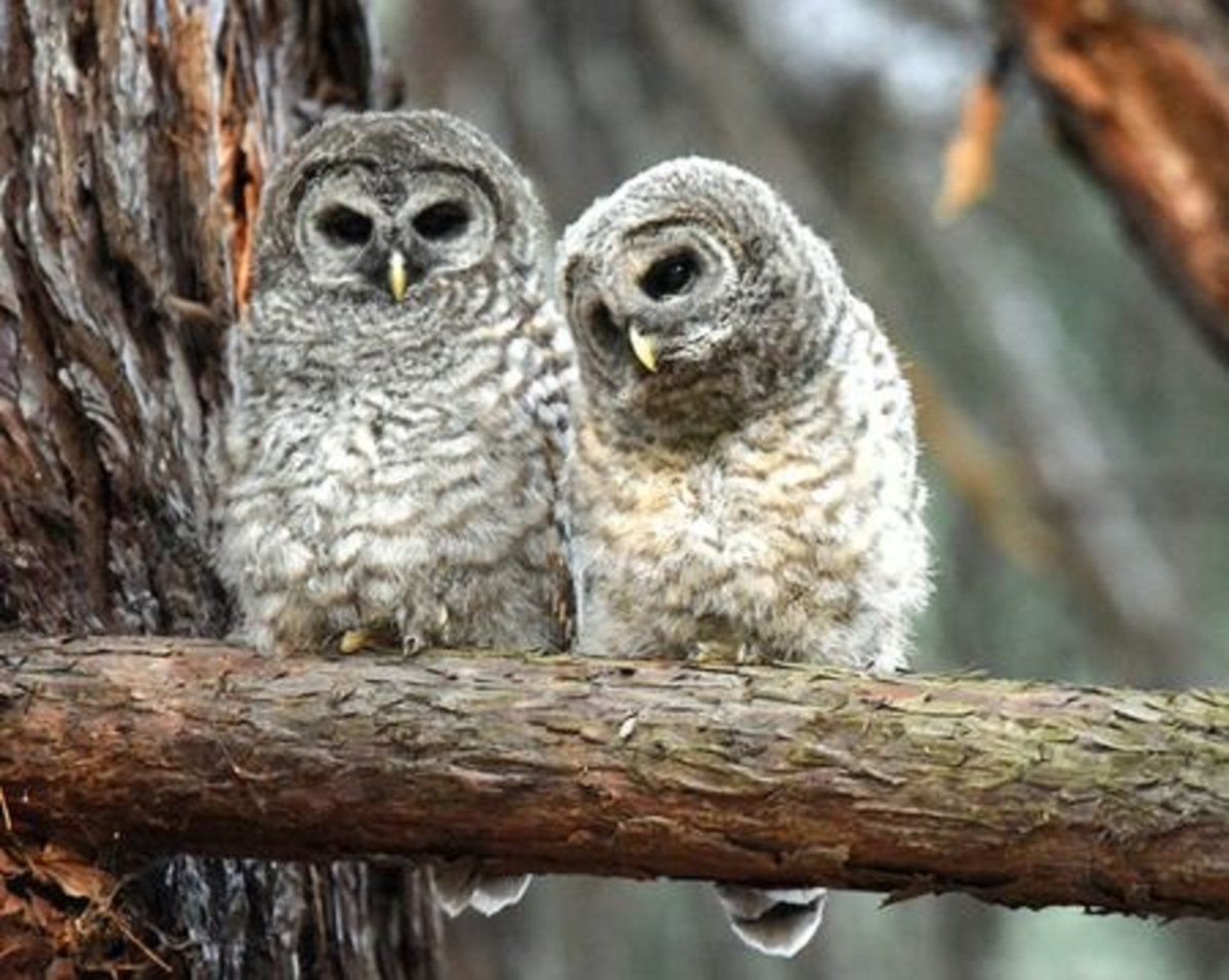 Barred Owl Chicks    photo by Bodhi Deb | Bodhis owls