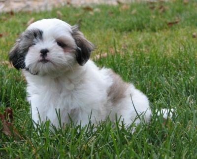 Top 10 Small Dogs That Don T Shed Small Dogs Cute Dogs Breeds