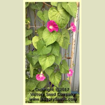 Picture Of Morning Glories Growing Up A Corn Stalk Google Search In 2020 Morning Glory Seeds Morning Glory Wine Red Color