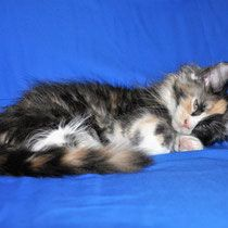 Pin On Eurocoons Maine Coon Cats And Kittens