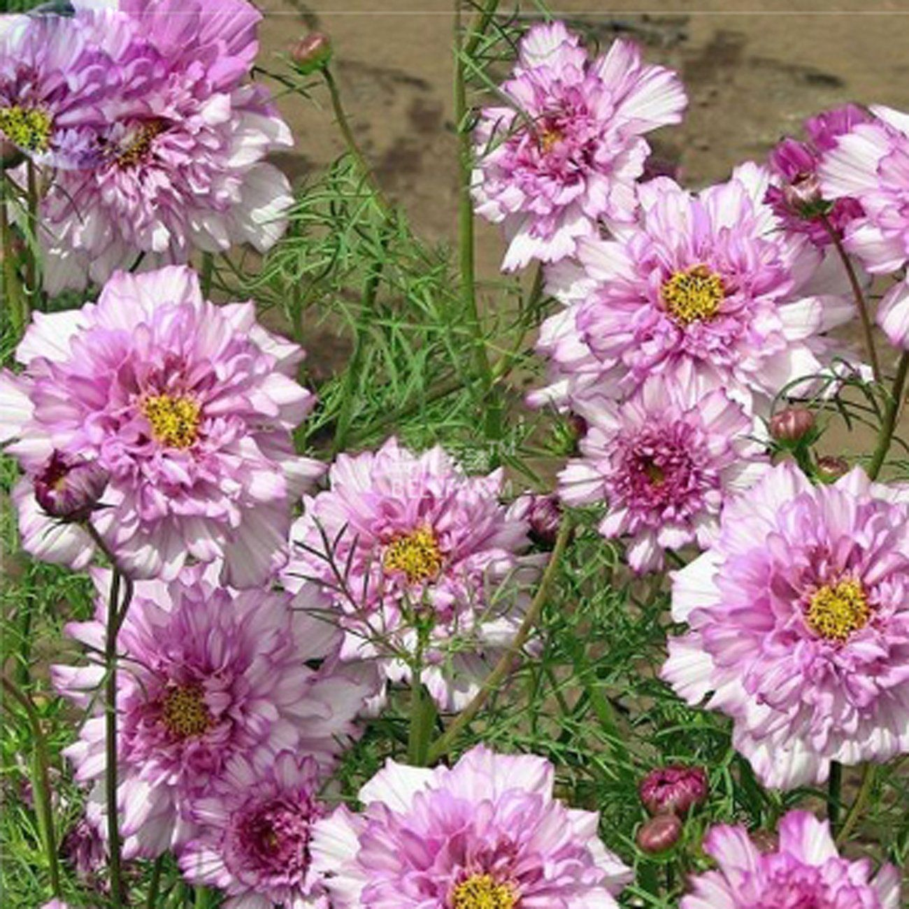 Amazon best garden seeds rare cosmos coreopsis double petals cosmos double click bicolor pink for bed and pots september flowers izmirmasajfo Gallery