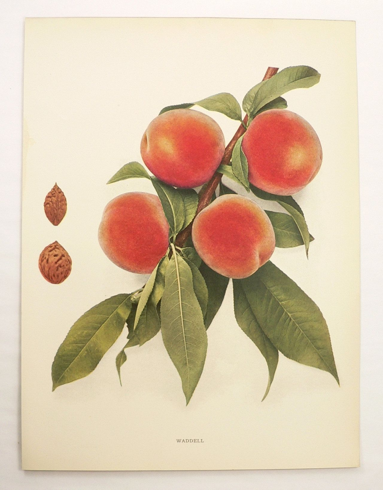 Vintage Peach Print 1917 Old Color Print Of Peaches Etsy Fruit Wall Art Peach Art Colorful Prints