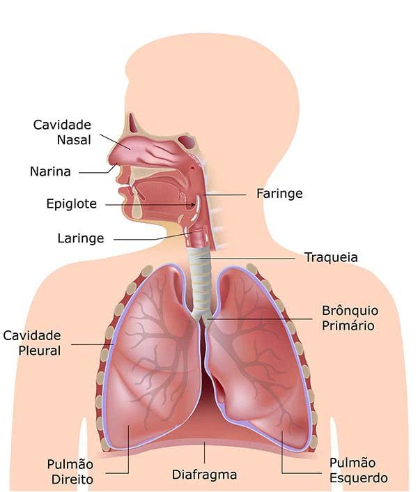 Sistema Respiratório | Estudos! | Pinterest | Anatomía, Sistema ...