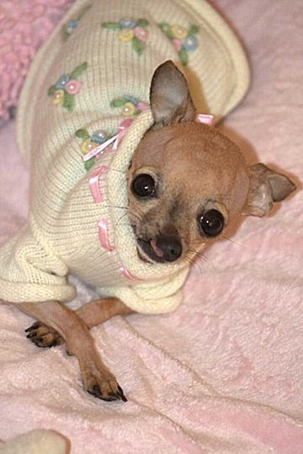 Meet Emma The Cleft Palate Chihuahua We Adopted Teacup