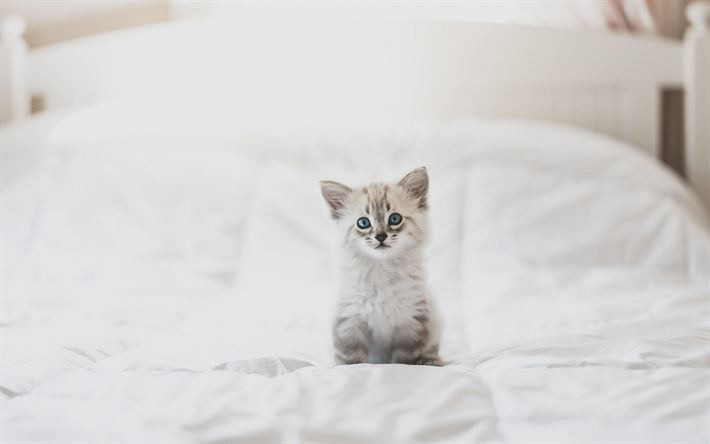 Download Wallpapers Small Fluffy White Kitten Small Cat With Blue