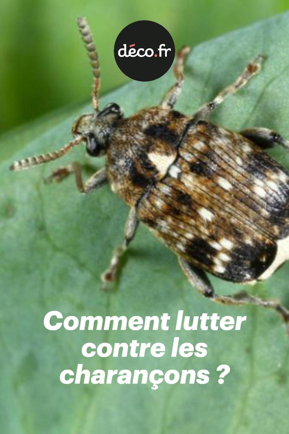 Petits Insectes Appartenant A La Famille Des Coleopteres Les Charancons Sont De Veritables Fleaux Ennemis Redoutes Des Jardiniers Q En 2020 Jardins Jardinage Potager