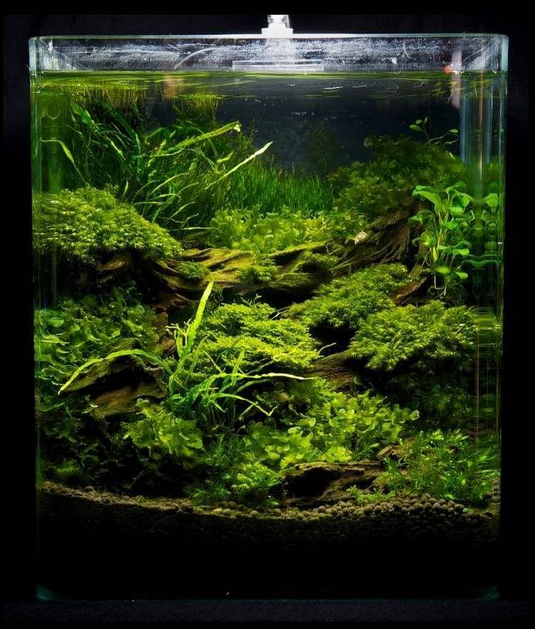 eine ganze Dschungel unter dem Wasser in einem Aquarium  Nano