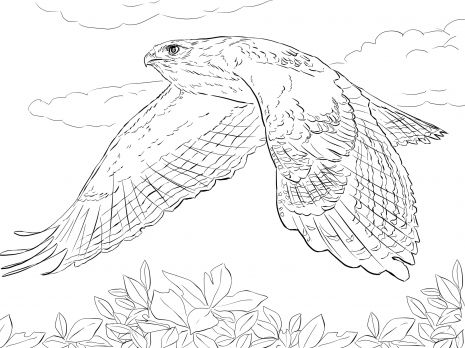 Drawing Of Red Tailed Hawk In Flight Artwork Photos Bird