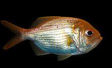 Centroberyx affinis, Redfish.jpg