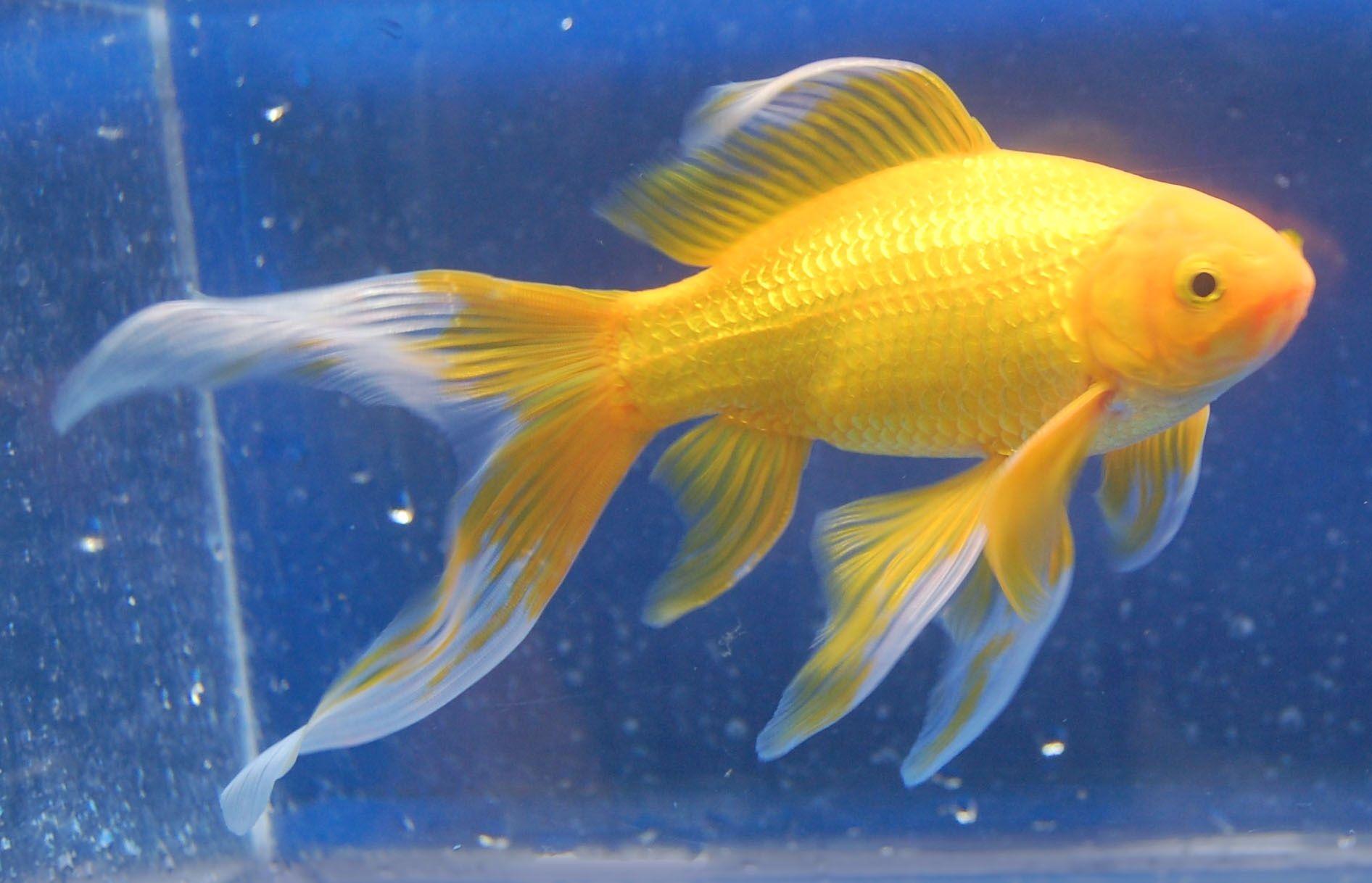 Goldfish Yellow Comet Comet Goldfish Goldfish Beautiful Fish