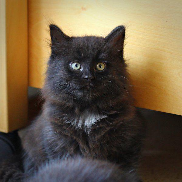 Black kitten | 'Aino' by ~Meow-pics