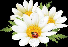 Ромашки - на прозрачном фоне | Рисунки цветов, Ромашки и Цветы