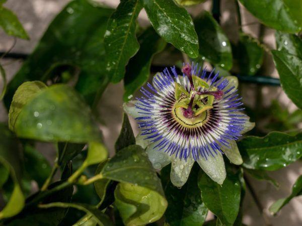 Die Blaue Passionsblume (Passiflora caerulea) - eine Augenweide! | LuberaÂ
