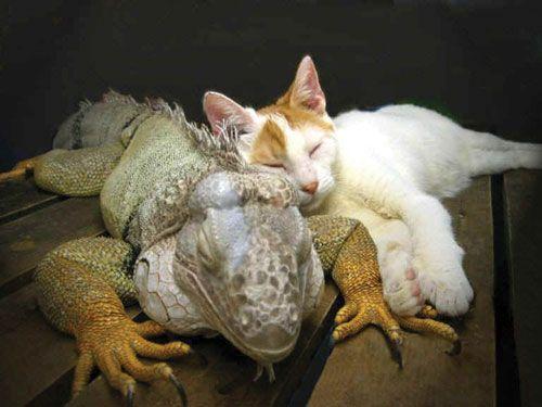 Johann the cat and Sobe the iguana
