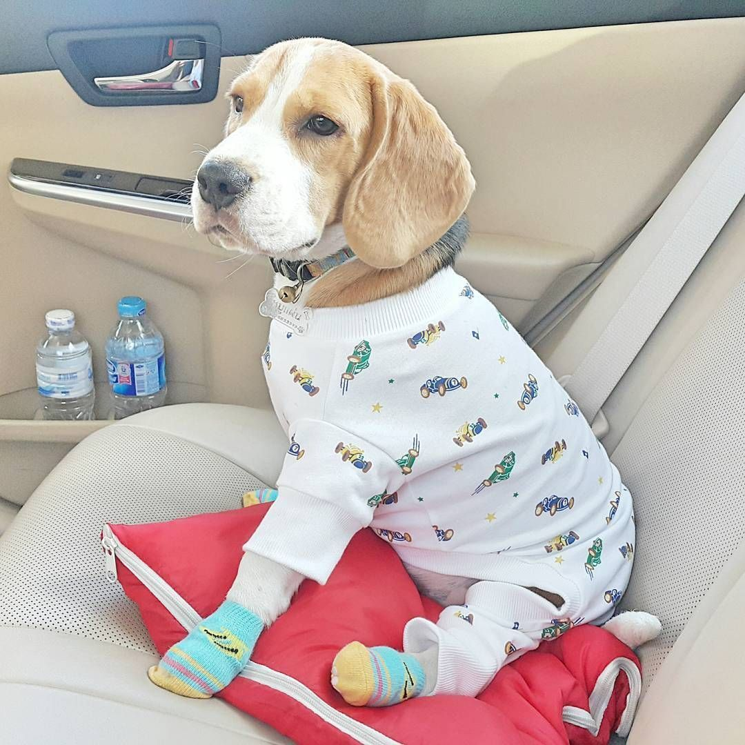so cute beagle หมา