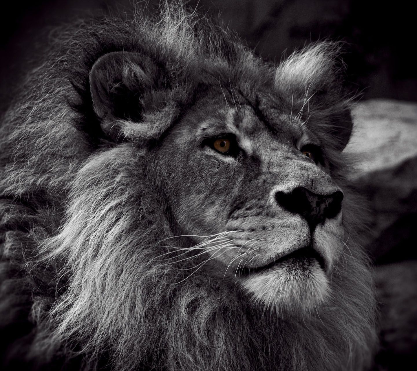 Lion photography full view and download lion black and white photo with resolution of