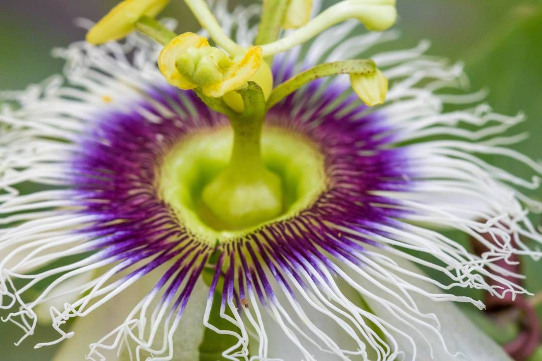 Passion Fruit Flower Passionflower Passionvines Passifloraceae Passiflora Passionfruitflower Passion Fruit Flower Passion Vine Passion Flower