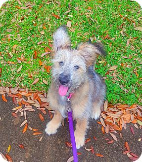 Houston Tx German Shepherd Dog Silky Terrier Mix Meet Sadie A