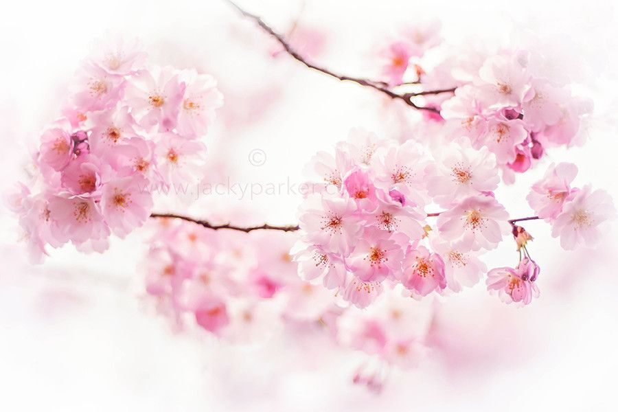 Photo Cherry Blossom Spring by Jacky Parker on 500px