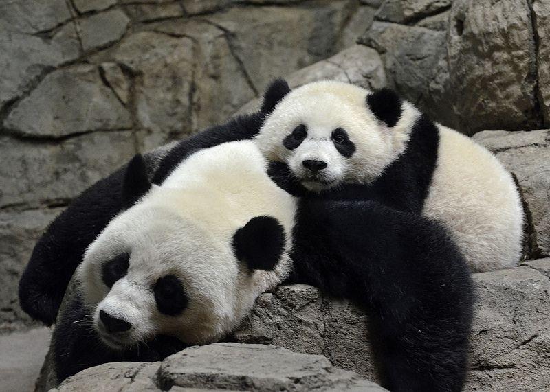 Bao Bao & Mei Xiang, 08/17/14 - Mother & Daughter | Flickr - Photo Sharing!