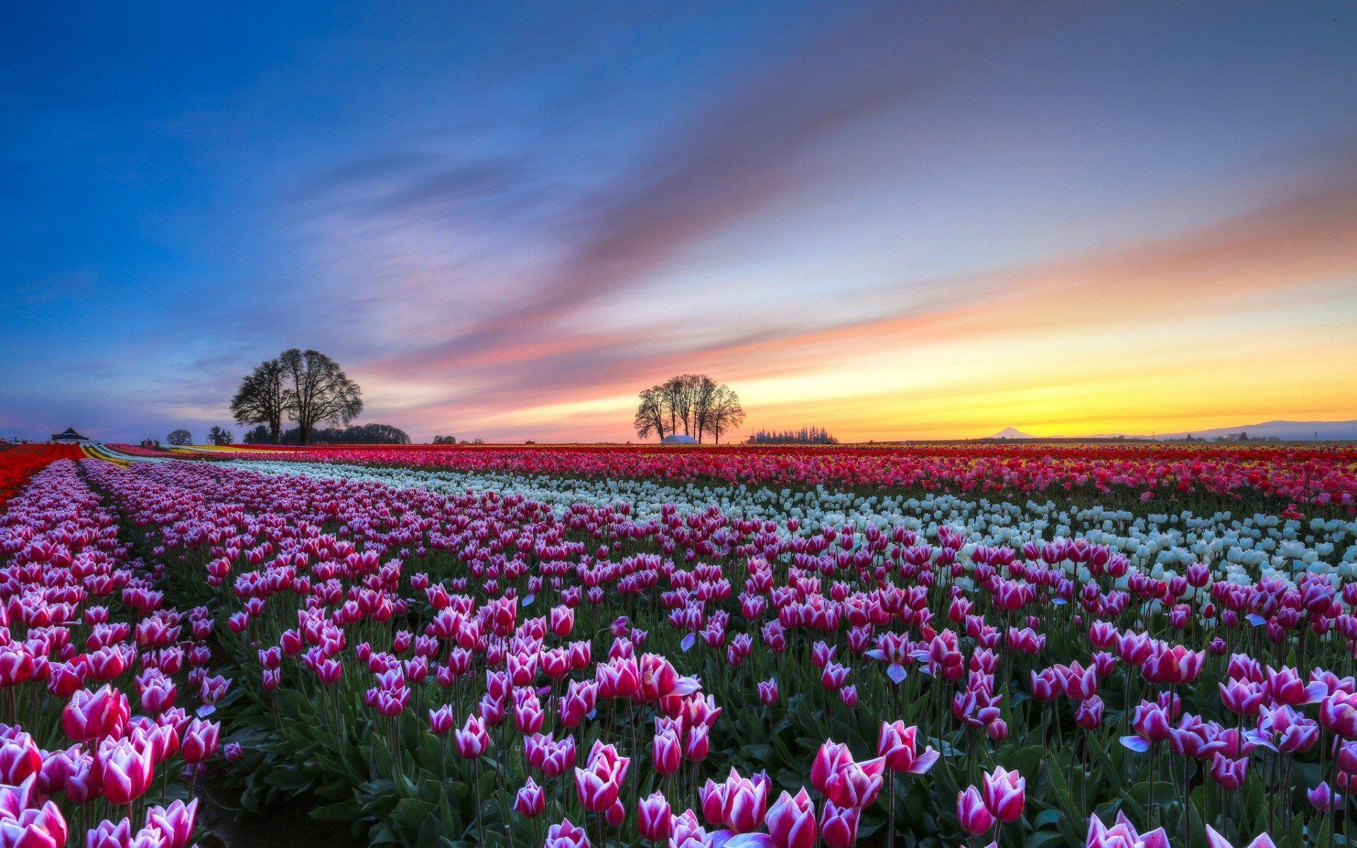 Pink Tulips Flower Field Scenery 1920x1200 Flowers Photography Wallpaper Scenery Wallpaper Field Wallpaper