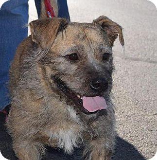 St Louis Mo Cairn Terrier Basset Hound Mix Meet Buster A Dog