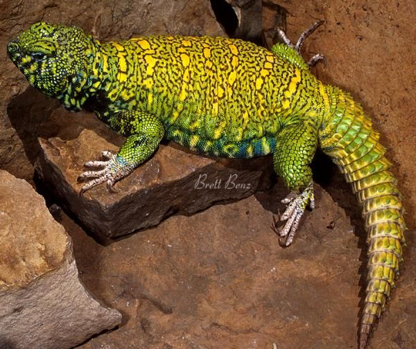 Ornate Uromastyx Green Male. Our next lizard | Pet lizards ...