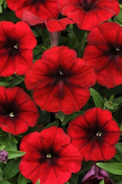 50 Petunia Easy Wave Red Trailing Spreading Live Plants Plugs Diy