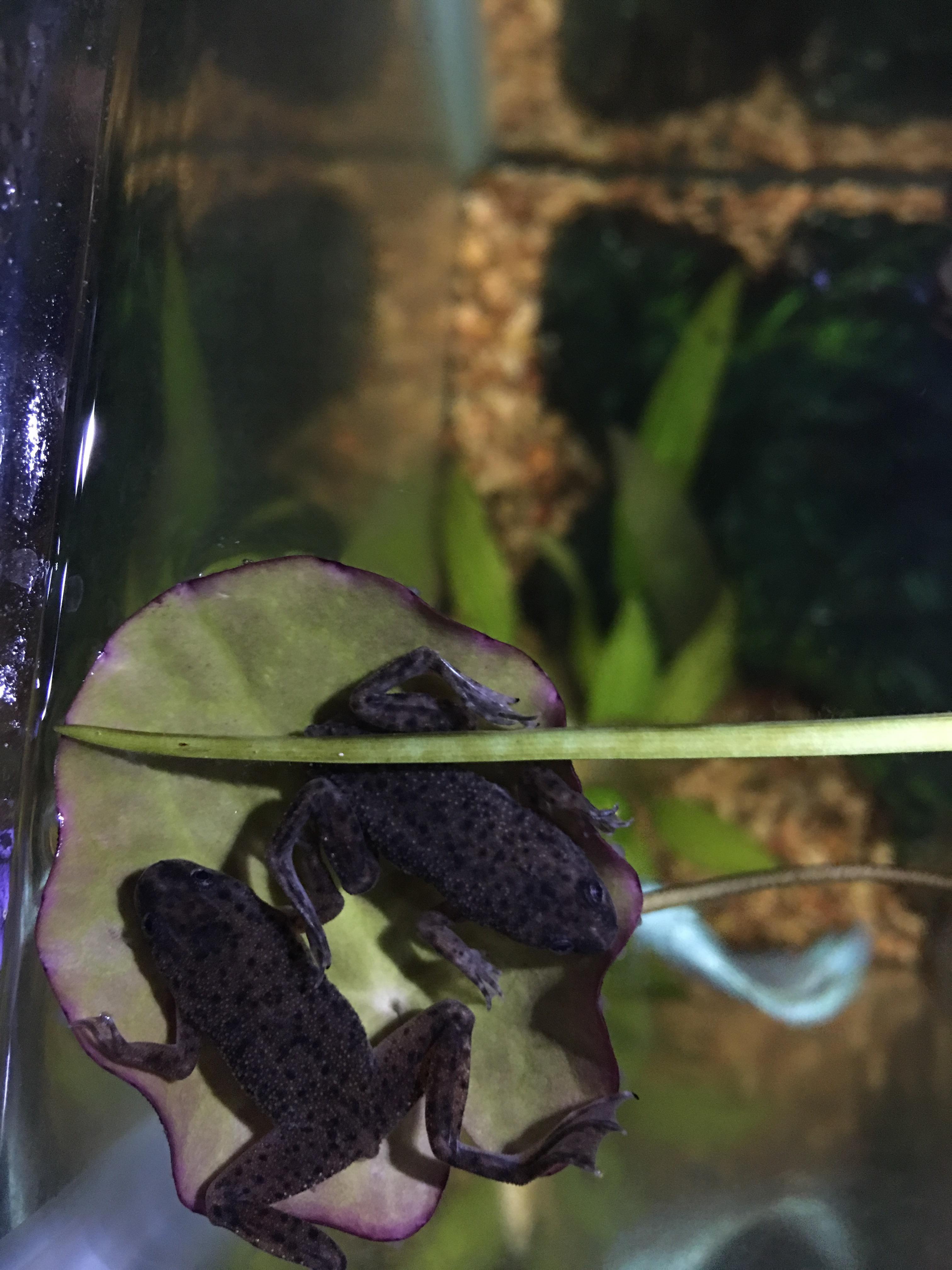 African Dwarf Frogs Enjoying Their New Banana Plant Http Ift Tt
