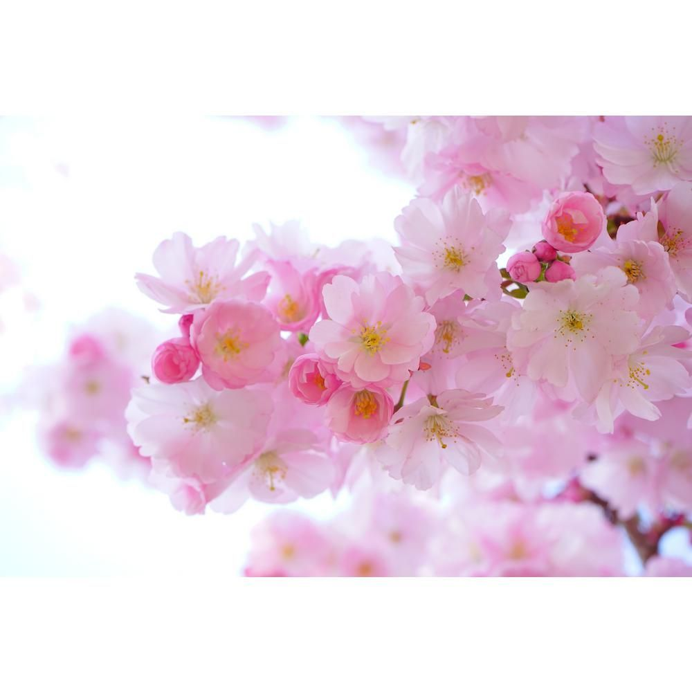 Online Orchards Shirofugen Cherry Blossom Tree Bare Root Flch003 Cherry Blossom Flowers Japanese Cherry Tree Blossom Flower